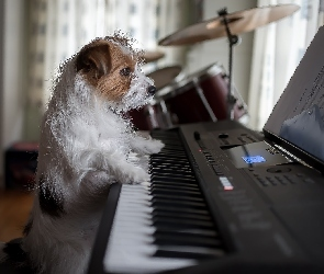 Pies, Pianino, Jack Russell terier