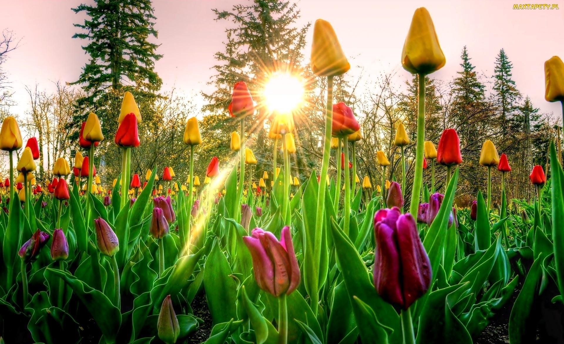233562_wiosna-drzewa-slonca-tulipany-wschod-kolorowe