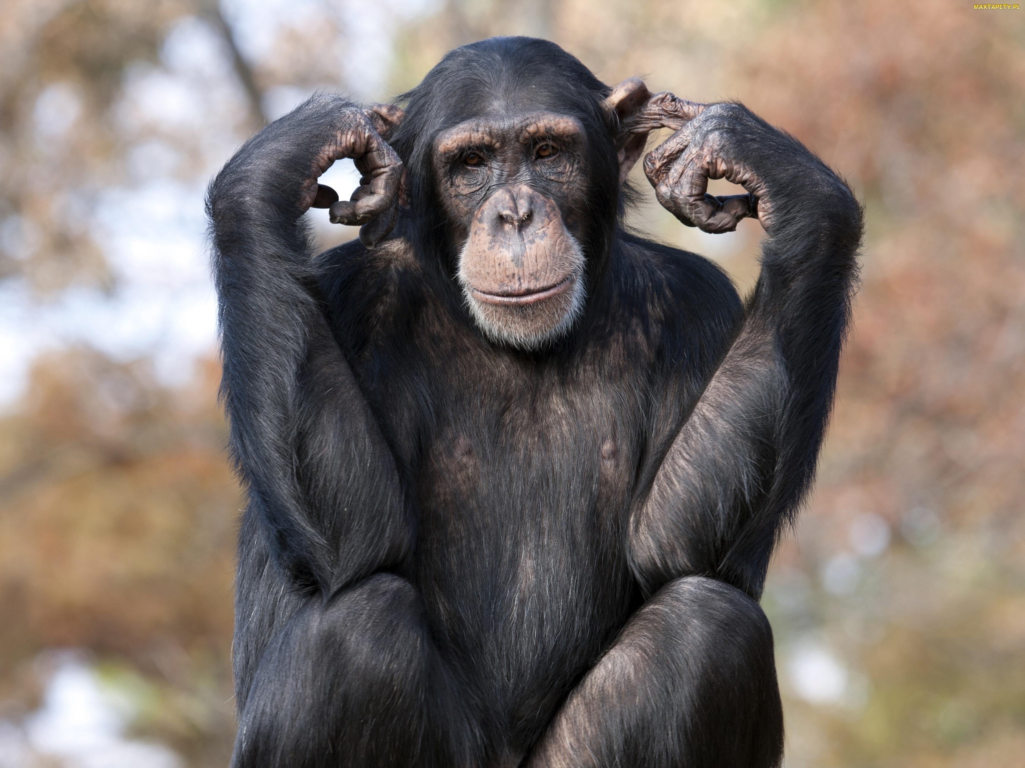 Znalezione obrazy dla zapytania szympans
