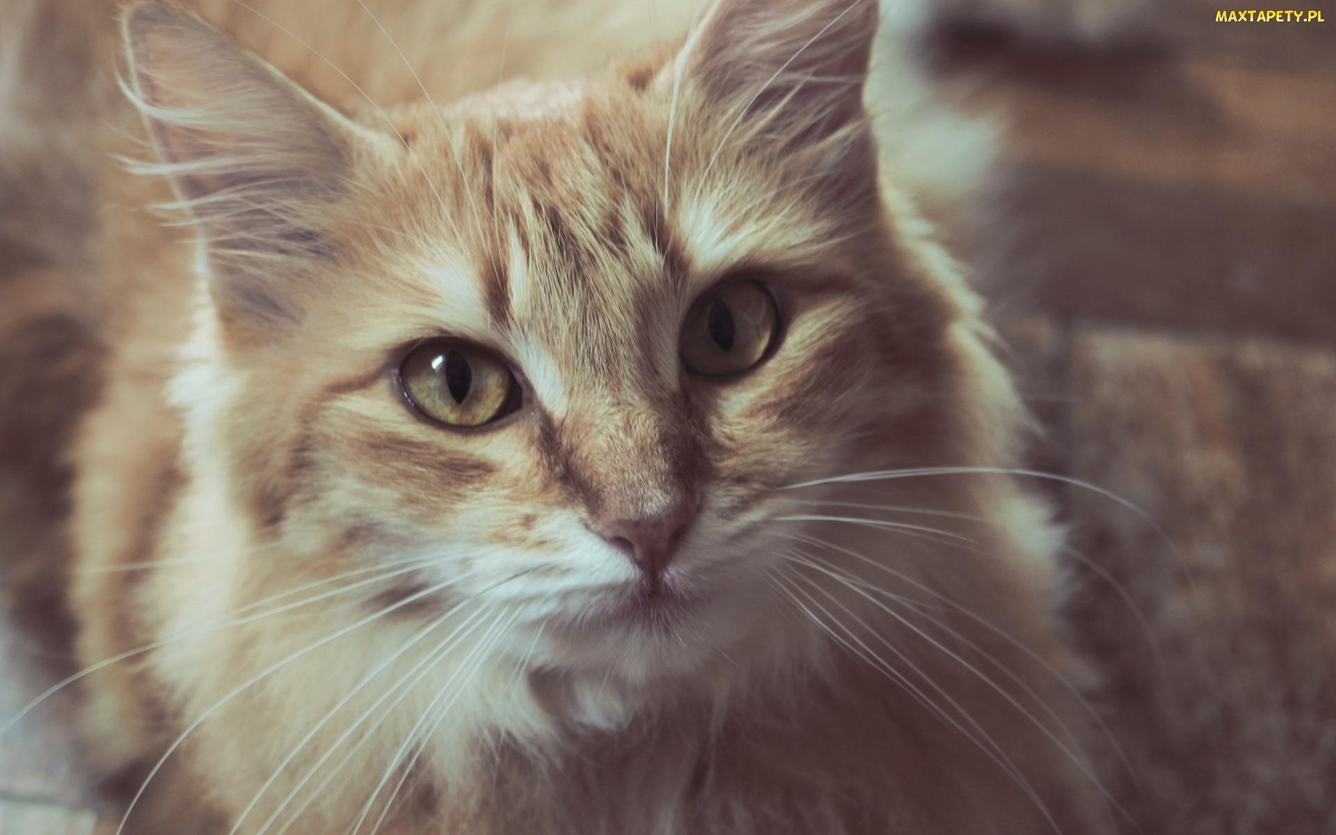 Tapety Zdjęcia Rudy Rozmyte Tło Spojrzenie Kot